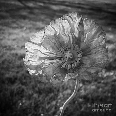 Sunlit Poppy Bw Art Print by Chalet Roome-Rigdon