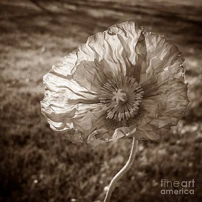 Photograph - Sunlit Poppy Sepia by Chalet Roome-Rigdon