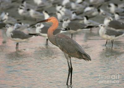 Photograph - Sunlit Reddish Egret by Myrna Bradshaw