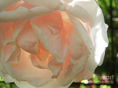 Photograph - Sunlit Rose by Jim and Emily Bush