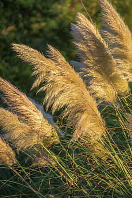 Photograph - Sunlit Sea Oats Sullivan's Island, Sc by Donnie Whitaker