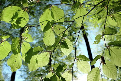 Photograph - Sunlit Spring Green Beech Leaves by Martin Stankewitz
