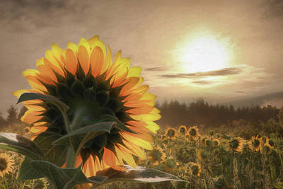 Photograph - Sunlit Sunflower by Lori Deiter