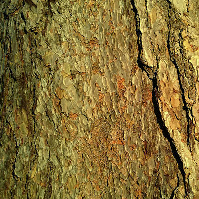 Photograph - Sunlit Tree Bark by Anne Kotan