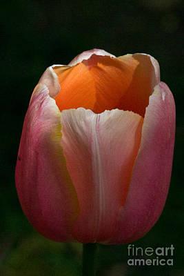 Photograph - Sunlit Tulip by Martha Johnson