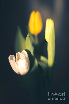 Photograph - Sunlit Tulips by Cheryl Baxter