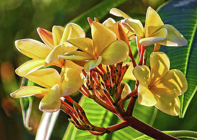Photograph - Sunlit Yellow Plumeria by HH Photography of Florida