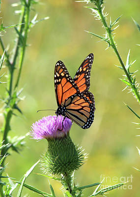 Sunlit Monarch Art Print