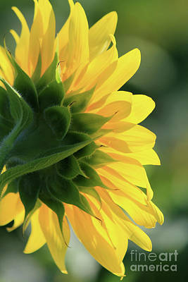 Photograph - Sunlite Sunflower by Paula Guttilla