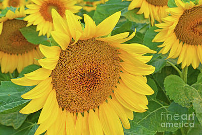 Sunloving Sunflowers Art Print by Regina Geoghan