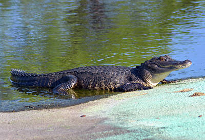 Photograph - Sunning And Smiling Alligator by William Tasker