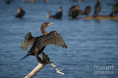 Photograph - Sunning Cormorant by David Cutts