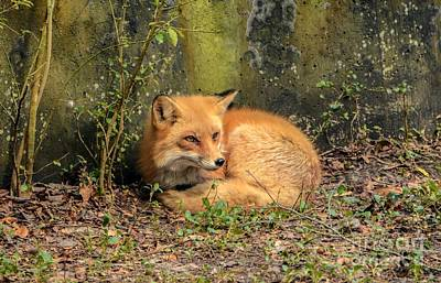 Sunning Fox Art Print