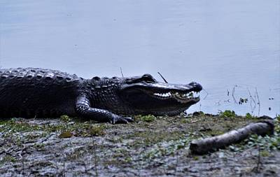 Photograph - Sunning Gator 2  by Warren Thompson