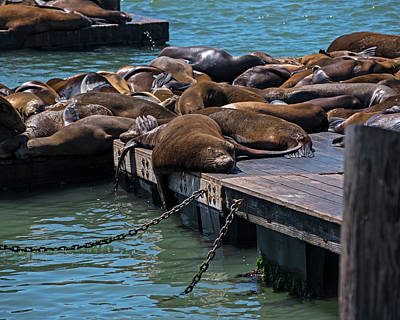 Photograph - Sunning Sleeping Seal Pier 39 San Francisco by Toby McGuire