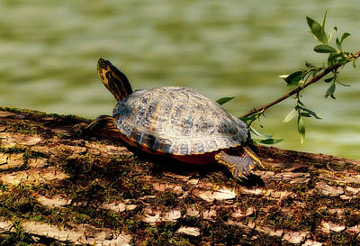Small Turtle Photograph - Sunning Turtle by Mountain Dreams