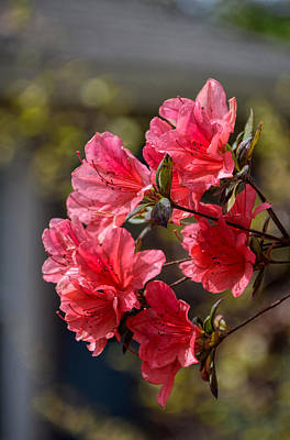 Photograph - Sunny Azaleas by Linda Brown