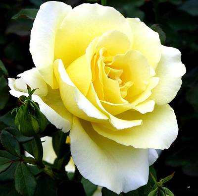 Photograph - Sunny Cream Rose by Will Borden