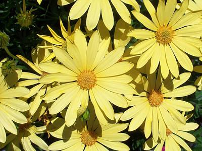 Photograph - Sunny Daisies by Nancy Pauling