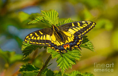 Photograph - Sunny Day Butterfly by Calvin Fannin