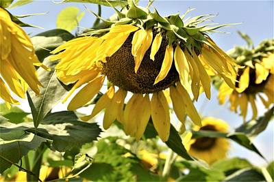 Photograph - Sunny Day Sunflower by Kim Bemis