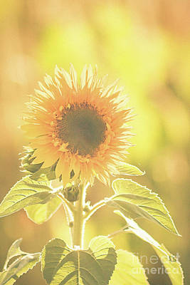 Photograph - Sunny Days And Sunflowers by Ana V Ramirez