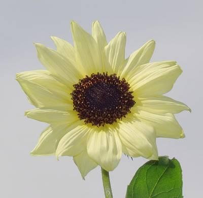 Photograph - Sunny Flower - Sunflower by MTBobbins Photography