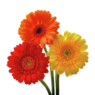 Photograph - Sunny Gerbera On White by Gill Billington