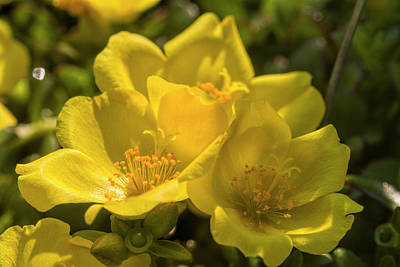 Photograph - Sunny Golden Purslane Blossoms by Kathy Clark