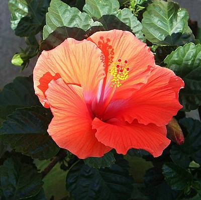 Photograph - Sunny Hibiscus by Ellen Barron O'Reilly