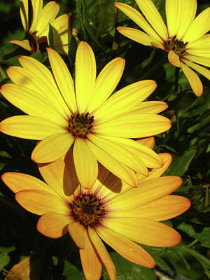 Photograph - Sunny Hybrids by Margie Avellino
