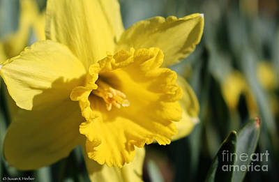 Photograph - Sunny Narcissus by Susan Herber