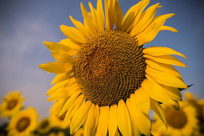Sunflowers Royalty-Free and Rights-Managed Images - Sunny Nights by Kristopher Schoenleber