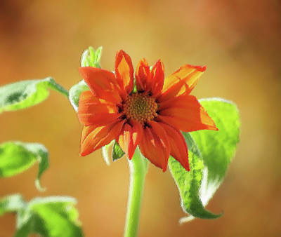 Photograph - Sunny Orange - Mexican Sunflower - Brush Strokes by MTBobbins Photography