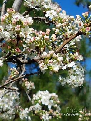 Photograph - Sunny Pear Blossoms by Maria Urso