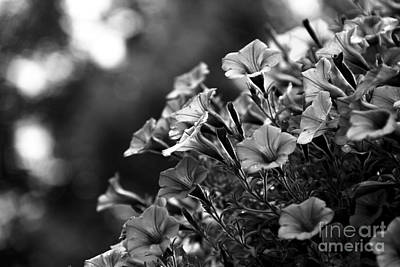 Sunny Petunias 1 Black And White Art Print