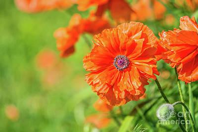 Photograph - Sunny Poppy Face by Cheryl Baxter