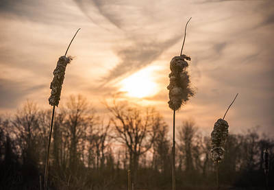 Freehold Photograph - Sunny Reeds by Kristopher Schoenleber