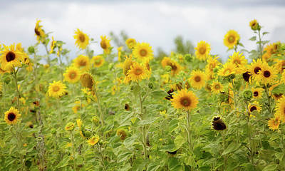 Sunflowers Royalty-Free and Rights-Managed Images - Sunny Roadside by Rebecca Cozart