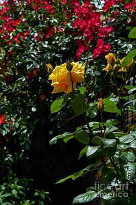 Photograph - Sunny Roses Of May by Konstantinos Chatziamallos