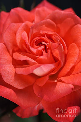 Photograph - Sunny Side Of Rose by Joy Watson