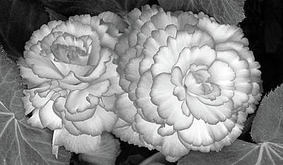 Photograph - Sunny Side Up - Begonia Black And White H by Gill Billington