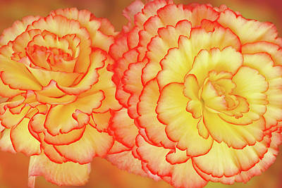 Photograph - Sunny Side Up - Begonia Horizontal by Gill Billington