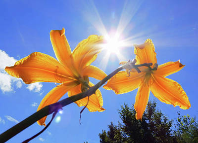 Photograph - Sunny Spider - Daylily by MTBobbins Photography