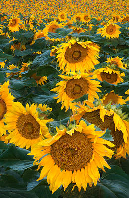 Sunflowers Royalty-Free and Rights-Managed Images - Sunny by Steve Gadomski