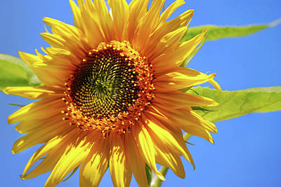Photograph - Sunny Sunflower by Christina Rollo