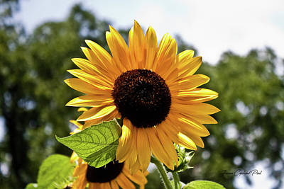 Photograph - Sunny Sunflower by Joann Copeland-Paul