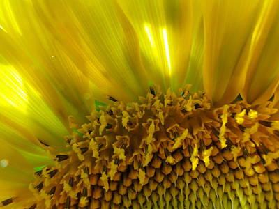 Sunny Sunflower Art Print by Liz Vernand