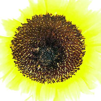 Photograph - Sunny Sunflower by Russell Keating