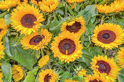 Photograph -  Sunny Sunflowers by Nadia Sanowar